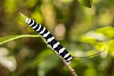 Hawk Moth (Sphingidae) caterpillar in rainforest, Panguana Nature Reserve, Peru  -  Konrad Wothe