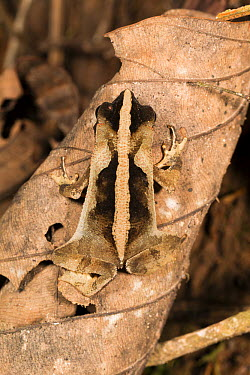 South American Common Toad (Rhinella margaritifera) camouflaged on rainforest leaf litter, Panguana Nature Reserve, Peru  -  Konrad Wothe