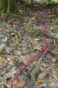 Leafcutter Ant (Atta cephalotes) column carrying pink flowers on trail, Panguana Nature Reserve, Peru  -  Konrad Wothe