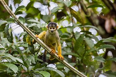 Bolivian Squirrel Monkey (Saimiri boliviensis), Panguana Nature Reserve, Peru  -  Konrad Wothe