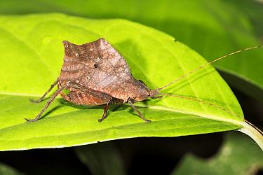 Cricket (Gryllidae) in rainforest, Panguana Nature Reserve, Peru  -  Konrad Wothe