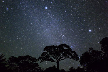 White Silk Floss Tree (Chorisia insignis) in rainforest and starry night sky, Panguana Nature Reserve, Peru  -  Konrad Wothe