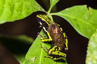 Three-striped Poison Dart Frog (Ameerega trivittata) carrying tadpoles, Panguana Nature Reserve, Peru  -  Konrad Wothe