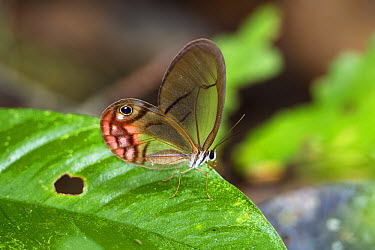 Pink-tipped Clearwing Satyr (Cithaerias pireta) butterfly, Panguana Nature Reserve, Peru  -  Konrad Wothe
