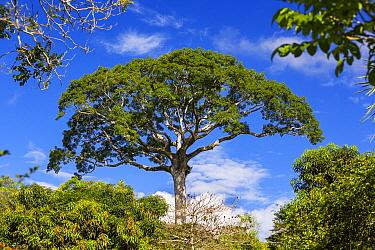 White Silk Floss Tree (Chorisia insignis) in lowland rainforest, Panguana Nature Reserve, Peru  -  Konrad Wothe