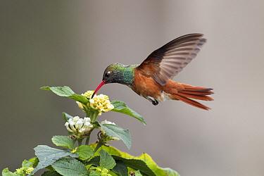 Amazilia Hummingbird (Amazilia amazilia) feeding on flower nectar, Lima, Peru  -  Konrad Wothe
