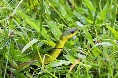 Velvet Swampsnake (Erythrolamprus typhlus), Panguana Nature Reserve, Peru  -  Konrad Wothe