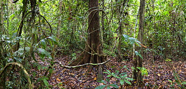 Liana in lowland rainforest, Panguana Nature Reserve, Peru  -  Konrad Wothe