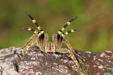 Wandering Spider (Phoneutria fera) in defensive posture, Panguana Nature Reserve, Peru  -  Konrad Wothe