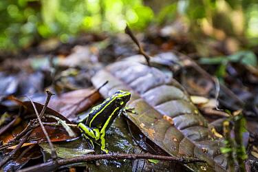 Three-striped Poison Dart Frog (Ameerega trivittata) in rainforest, Panguana Nature Reserve, Peru  -  Konrad Wothe