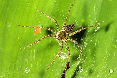 Fishing Spider (Pisauridae) in web, Panguana Nature Reserve, Peru  -  Konrad Wothe