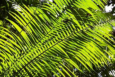 Palm leaves in lowland rainforest, Panguana Nature Reserve, Peru  -  Konrad Wothe