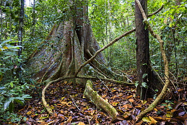 Lianas and buttress roots in lowland rainforest, Panguana Nature Reserve, Peru  -  Konrad Wothe