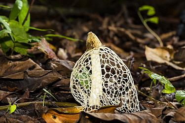 Veiled Lady (Dictyophora indusiata) mushroom, Panguana Nature Reserve, Peru  -  Konrad Wothe