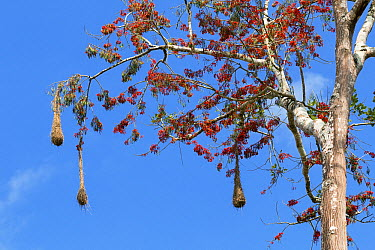 Russet-backed Oropendola (Psarocolius angustifrons) nests in blooming Coral Tree (Erythrina sp) in lowland rainforest, Panguana Nature Reserve, Peru  -  Konrad Wothe