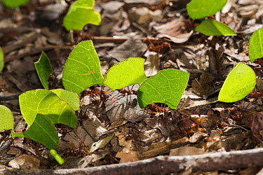 Leafcutter Ant (Atta cephalotes) group carrying leaves, Panguana Nature Reserve, Peru  -  Konrad Wothe
