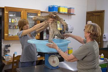Brown-throated Three-toed Sloth (Bradypus variegatus) conservationist, Judy Avey-Arroyo, and biologist, Rebecca Cliffe, weighing sloth, Aviarios Sloth Sanctuary, Costa Rica  -  Suzi Eszterhas