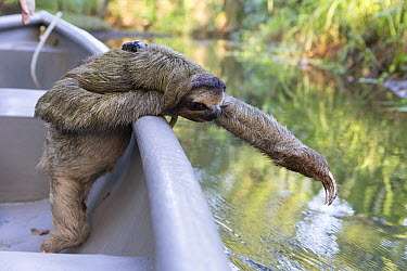 Brown-throated Three-toed Sloth (Bradypus variegatus) with sloth backpack tracking device, riding in boat to release site, Aviarios Sloth Sanctuary, Costa Rica  -  Suzi Eszterhas