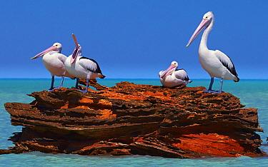 Australian Pelican (Pelecanus conspicillatus) group, Roebuck Bay, Kimberley, Western Australia, Australia  -  Martin Willis