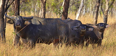 Asiatic Buffalo (Bubalus bubalis) trio, Northern Territory, Australia  -  Martin Willis