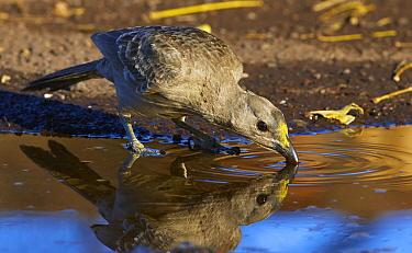 Great Bowerbird (Chlamydera nuchalis) drinking, Wyndham, Kimberley, Western Australia, Australia  -  Martin Willis