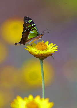Macleay's Swallowtail (Graphium macleayanus) butterfly, Canberra, Australia  -  Martin Willis
