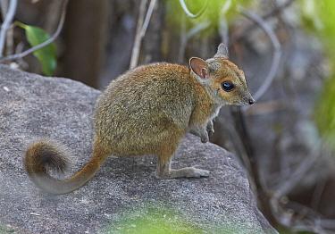Monjon (Petrogale burbidgei) joey, Mitchell Plateau, Kimberley, Western Australia, Australia  -  Martin Willis