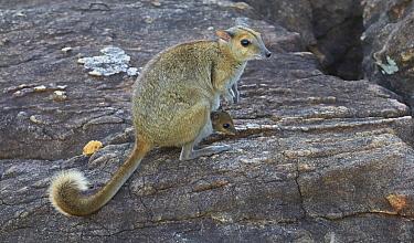 Monjon (Petrogale burbidgei) mother with joey, Mitchell Plateau, Kimberley, Western Australia, Australia  -  Martin Willis