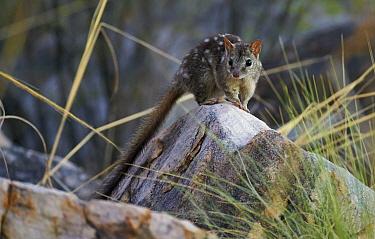 Northern Quoll (Dasyurus hallucatus), among granite rocks in Spinifex grass habitat, Mitchell Plateau, Kimberley, Western Australia, Australia  -  Martin Willis