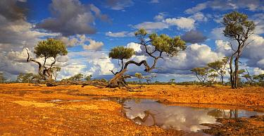 Gidgee (Acacia cambagei) trees and waterhole, Queensland, Australia  -  Martin Willis
