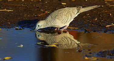 Peaceful Dove (Geopelia placida) drinking, Wyndham, Kimberley, Western Australia, Australia  -  Martin Willis