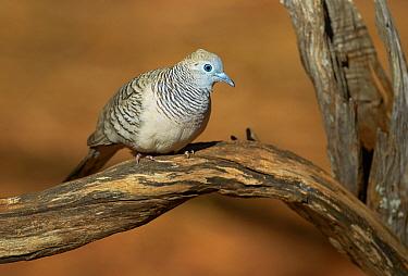 Peaceful Dove (Geopelia placida), Roebuck Bay, Kimberley, Western Australia, Australia  -  Martin Willis