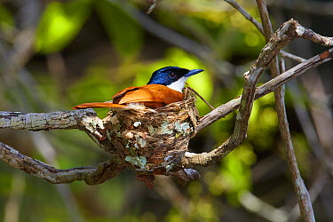 Shining Flycatcher (Myiagra alecto) female on nest, Queensland, Australia  -  Martin Willis