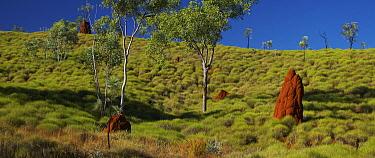 Hairy Spinifex (Spinifex hirsutus) grassland, Kimberley, Western Australia, Australia  -  Martin Willis
