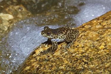 Torrent Treefrog (Litoria nannotis) also known as Waterfall Frog, near creek, Kuranda, Queensland, Australia  -  Martin Willis