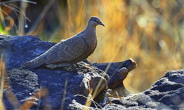 White-quilled Rock-Pigeon (Petrophassa albipennis), Mitchell Plateau, Kimberley, Western Australia, Australia  -  Martin Willis