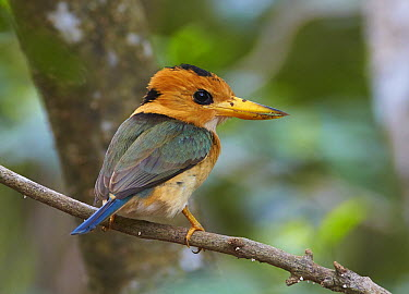 Yellow-billed Kingfisher (Syma torotoro) female, Cape Weymouth, Cape York Peninsula, Australia  -  Martin Willis