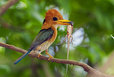 Yellow-billed Kingfisher (Syma torotoro) with skink prey, Cape Weymouth, Cape York Peninsula, Australia  -  Martin Willis