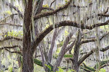Southern Live Oak (Quercus virginiana) trees with Spanish Moss (Tillandsia usneoides), Florida  -  Scott Leslie