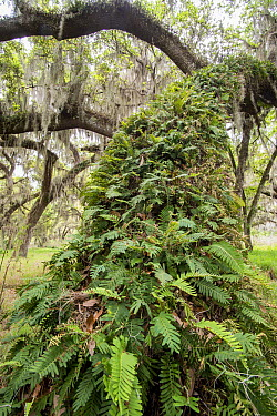 Southern Live Oak (Quercus virginiana) with Spanish Moss (Tillandsia usneoides) and epiphytic ferns, Florida  -  Scott Leslie