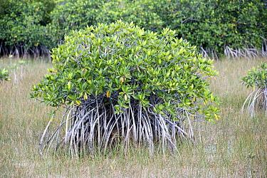 White Mangrove (Laguncularia racemosa), Everglades National Park, Florida  -  Scott Leslie