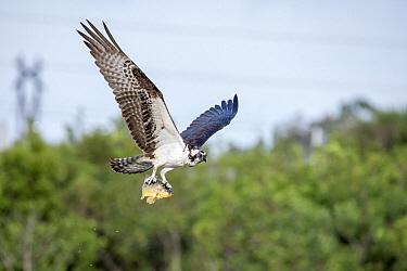 Osprey (Pandion haliaetus) carrying Marble Cichlid (Astronotus ocellatus) prey, Viera Wetlands, Florida  -  Scott Leslie