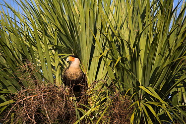 Southern Caracara (Caracara plancus) at nest, Kissimmee Prairie Preserve State Park, Florida  -  Scott Leslie