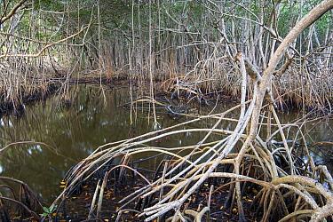 White Mangrove (Laguncularia racemosa) aerial roots, Everglades National Park, Florida  -  Scott Leslie