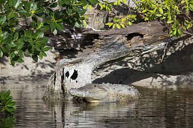 American Crocodile (Crocodylus acutus),sunning, Everglades National Park, Florida  -  Scott Leslie