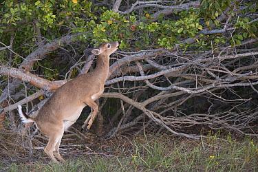 Key Deer (Odocoileus virginianus clavium) female standing on hind legs to feed, National Key Deer Refuge, Florida  -  Scott Leslie