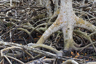 Red Mangrove (Rhizophora mangle) aerial roots and propagules, National Key Deer Refuge, Florida  -  Scott Leslie