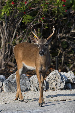 Key Deer (Odocoileus virginianus clavium) buck, National Key Deer Refuge, Florida  -  Scott Leslie