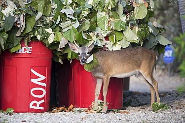 Key Deer (Odocoileus virginianus clavium) buck feeding on yard waste, National Key Deer Refuge, Florida  -  Scott Leslie