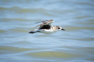 Black-bellied Plover (Pluvialis squatarola) flying, Everglades National Park, Florida  -  Scott Leslie